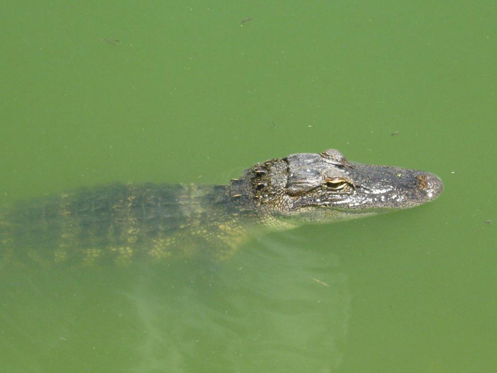 Lake Alice Alligator #1 by agnosticdragon