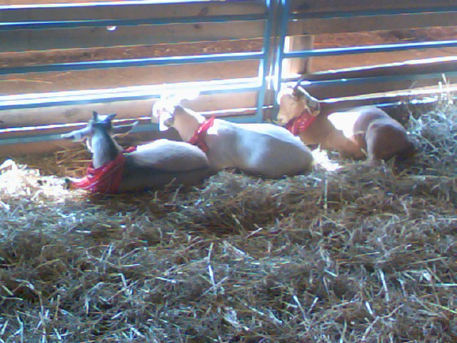 Howard co fair country goats by ockgal on deviantart for Howard county craft fair