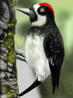Acorn Woodpecker by florajessica