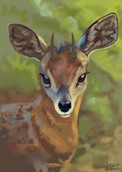 Grysbok Antelope