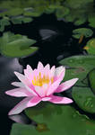 Water Lily by florajessica