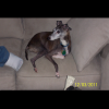 Double Stuff  the Italian Greyhound by Lindaquick
