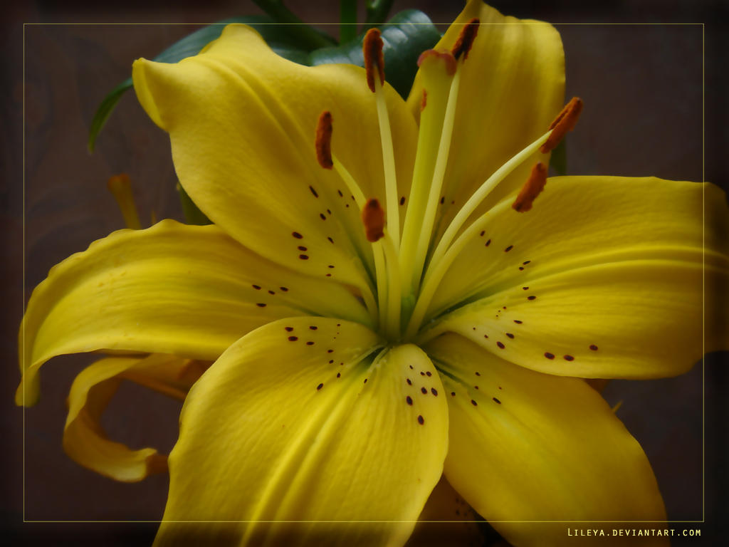 Yellow lily wallpaper