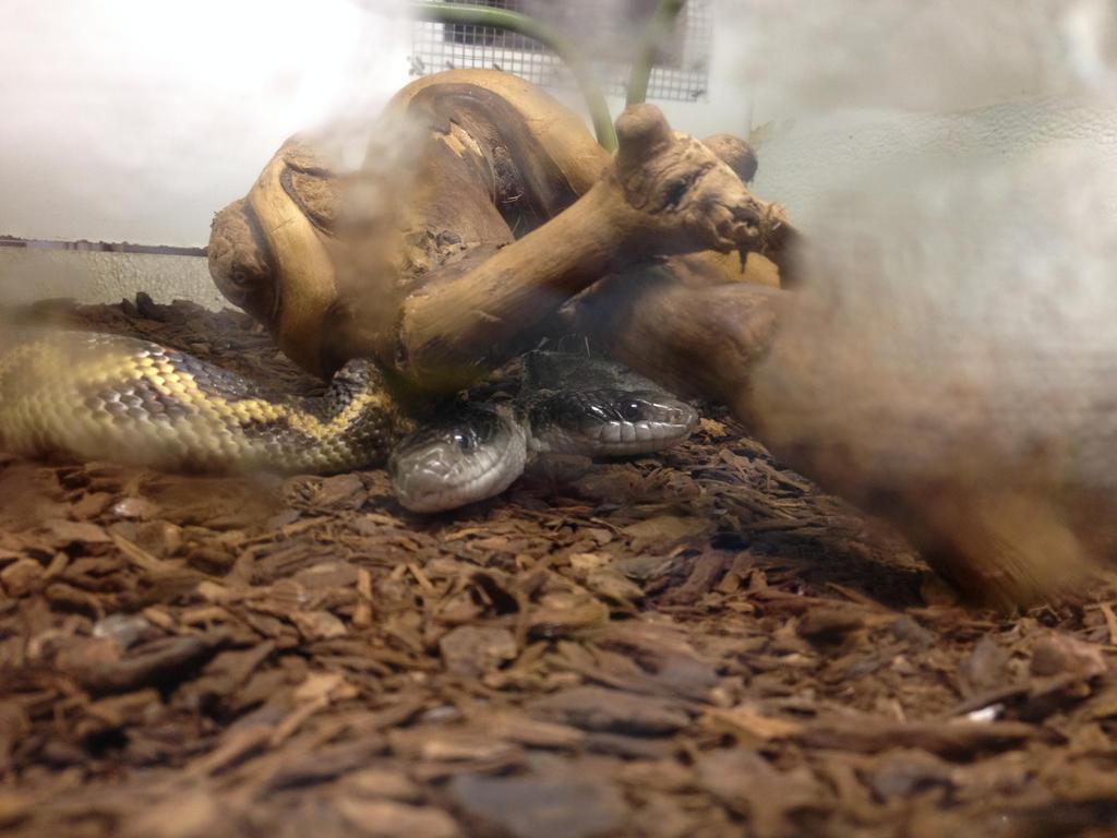 Two-Headed Rat Snake by SoraIrelandUchiha on DeviantArt