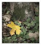 Maple leaf by isak-