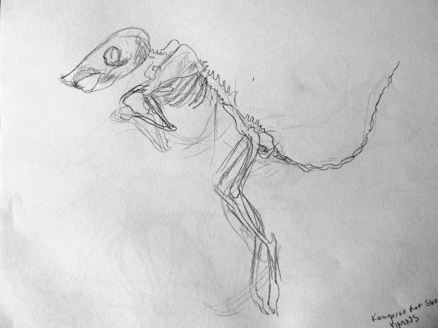 Line Drawing Rat : Kangaroo rat skeleton by hymenomycotina on deviantart