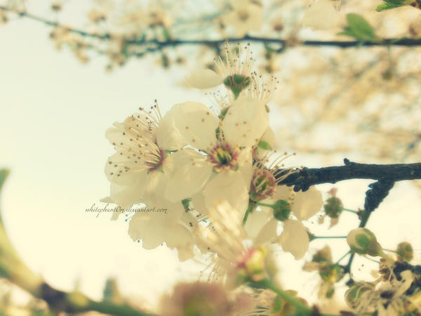 plum blossom 2 by whitephant0m