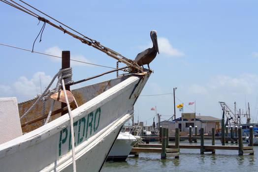 Rockport, TX - Pelican