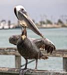Outdoor Life - Pelican by policegirl01