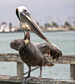 Outdoor Life - Pelican