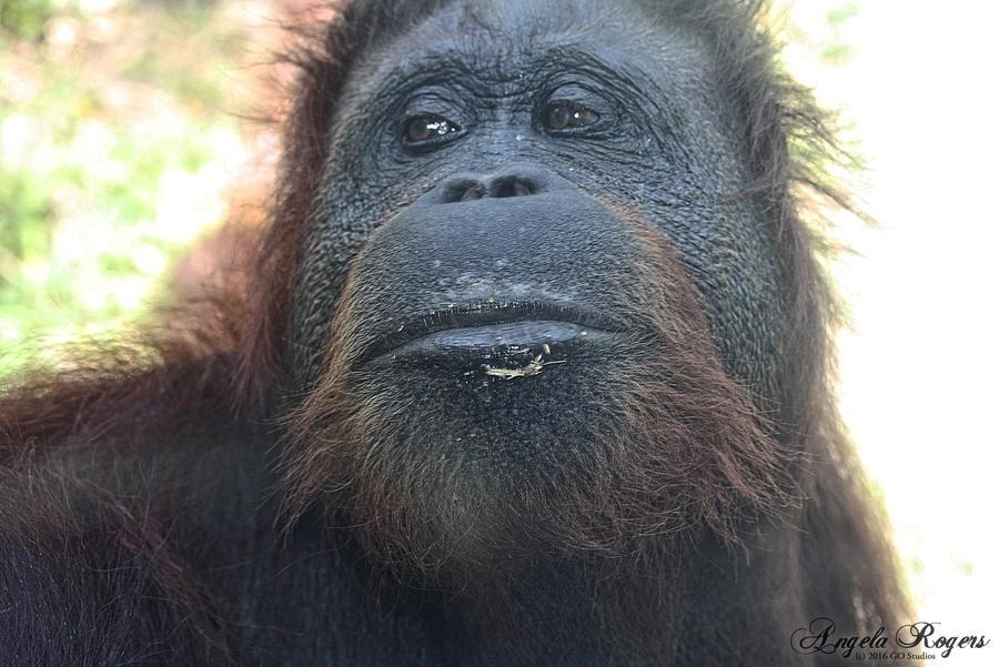Orangutan - Gladys Porter Zoo by policegirl01