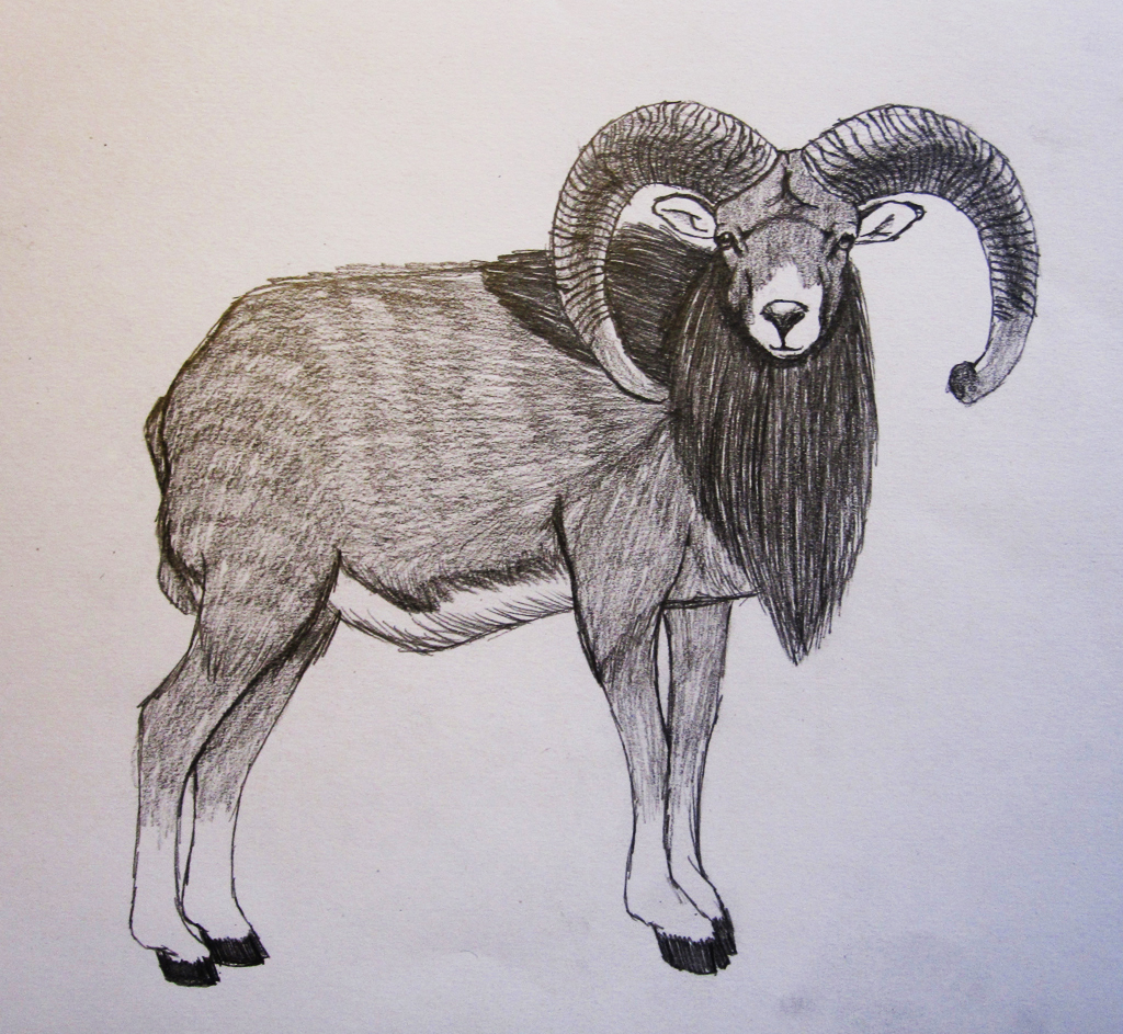 Bighorn Sheep Drawing | www.imgkid.com - The Image Kid Has It!