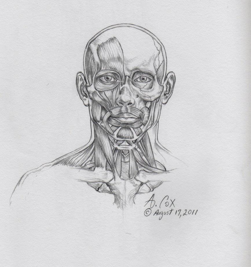 Anatomy-Head-Frontal by andrewcox on DeviantArt
