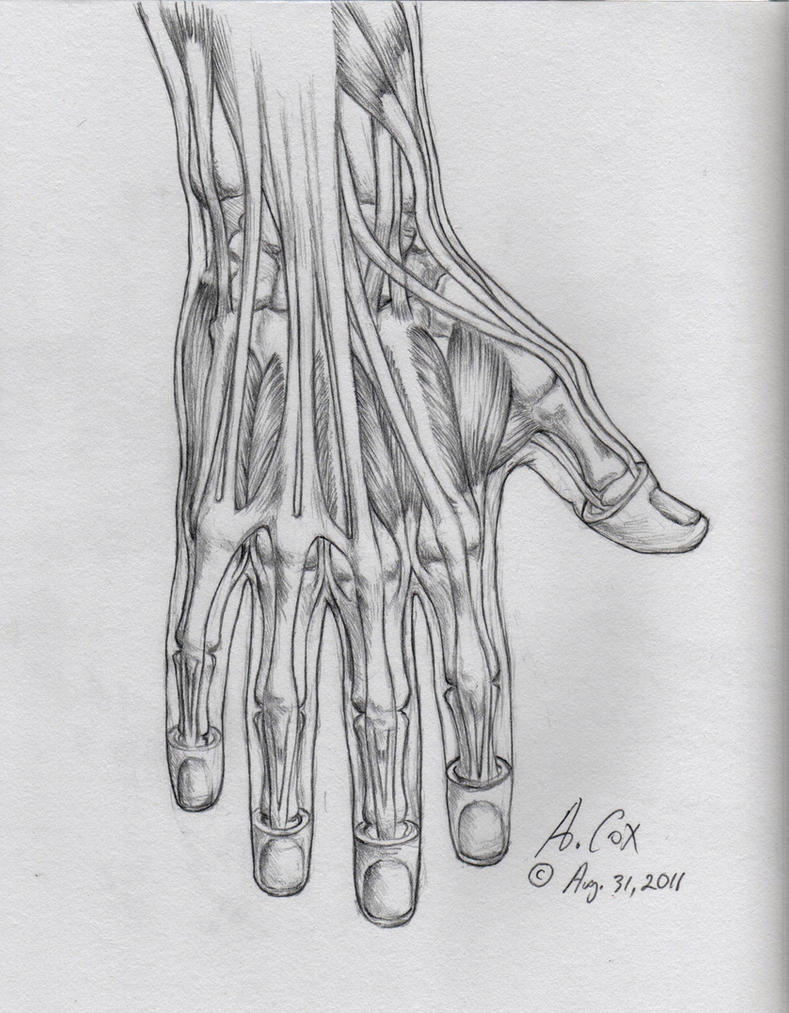 Anatomy-Hand Lateral View by andrewcox on DeviantArt