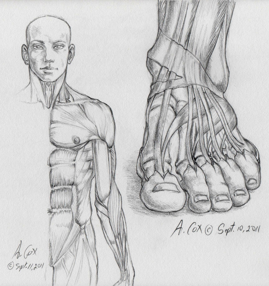 Anatomy-Foot Frontal View by andrewcox on DeviantArt