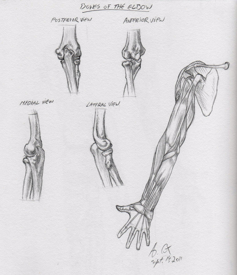 Anatomy-Elbow Bones by andrewcox on DeviantArt