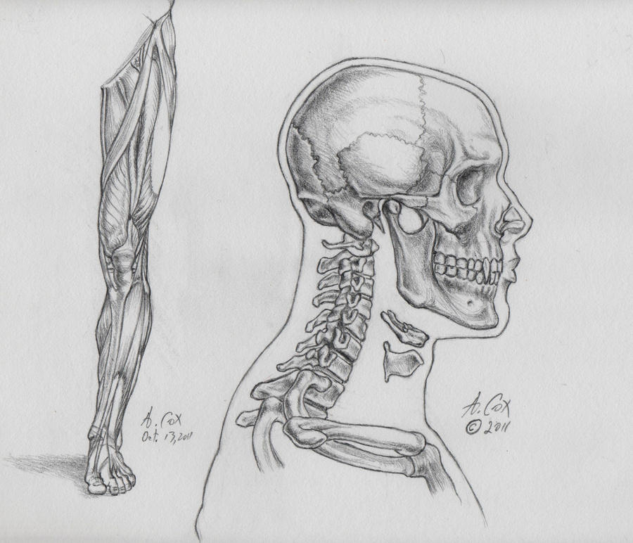 Anatomy-The Skull-Lateral View by andrewcox on DeviantArt