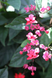 Clerodendrum Speciousos by NickBentonArt