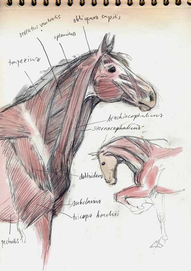 Equine anatomy - neck by theOvercoat on DeviantArt