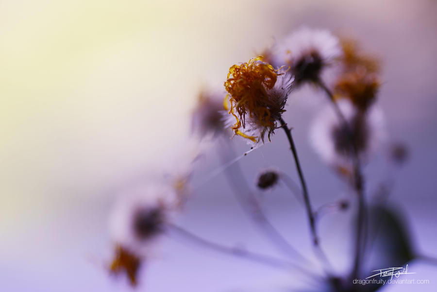 Morgenblume by Dragonfruity
