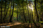 Sunshine in the Woods by Robbanmurray