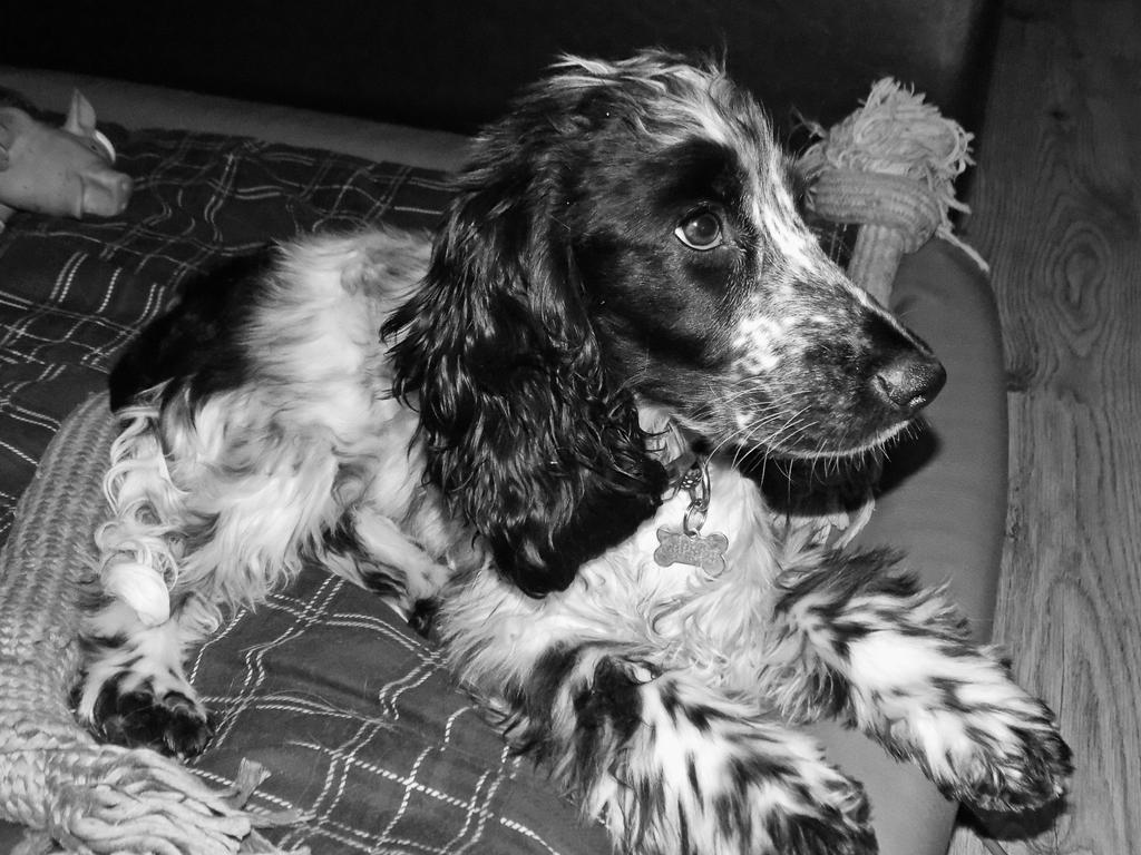 Cocker Spaniel 7 Black and White by Taylor647
