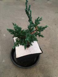 bonsai by PadmaPhala