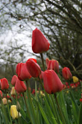 The red and yellow tulips