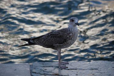 Seagull at Venice by poppynka