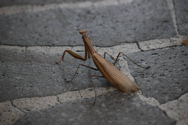 Mantis walking down the street by poppynka