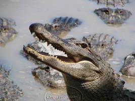 Alligator by orcafreedom1