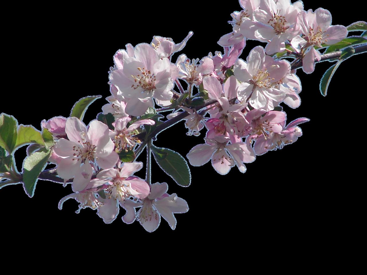 sakura branch png www pixshark com images galleries cherry blossom clip art black/white cherry blossom clip art no watermark