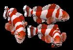 Red white Fish