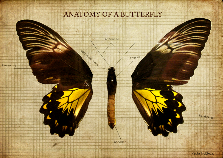Anatomy of a Butterfly by pathetickid04 on DeviantArt