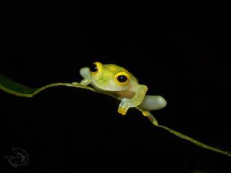 Little glass-frog