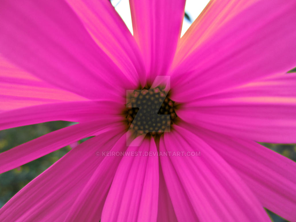 Pink Flower Photography Print by KeironWest