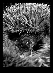 hedgehog01