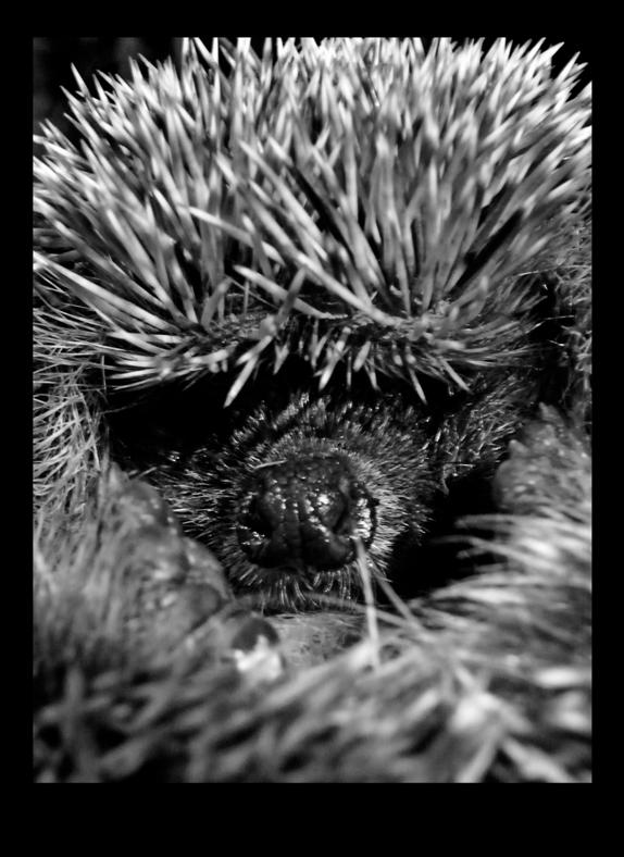 hedgehog01 by JBVendamme