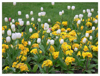 Tulip II by ninnicchio