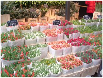 Tulip Amsterdam by ninnicchio