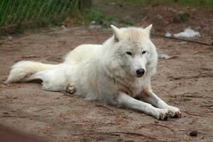 Hudson bay wolf by Ylliny