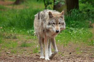 Grey Wolf 2 by Ylliny