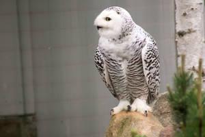 Owl 2 by Ylliny