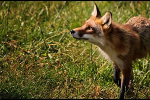 Fox 02 by Ylliny