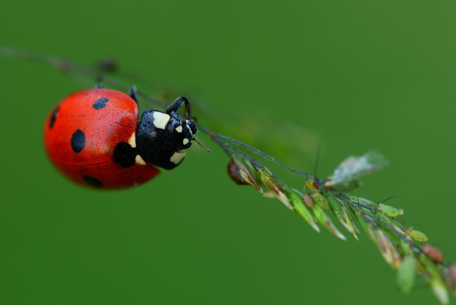 ladybug by Koraljka