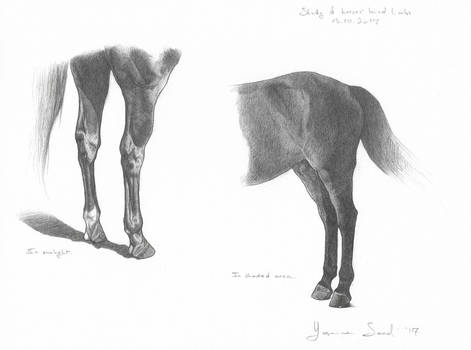 Study of horses' hind limbs