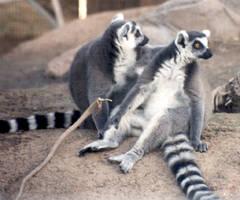 Lemur Love by primalx