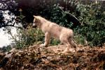 Watchful Wolf Cub