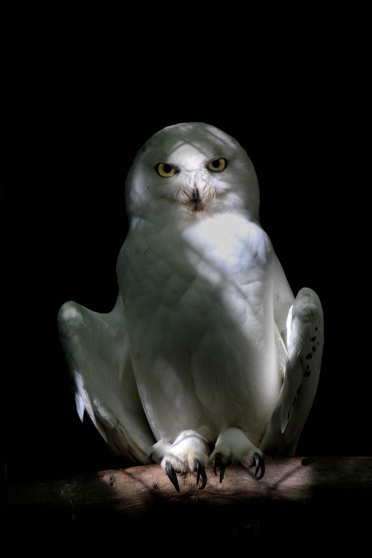 Snowy Owl by Lucky101212