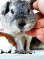 guinea pigs by littlelionpaw
